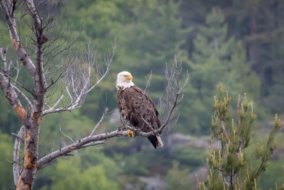 Bald Eagle on Dead Limb.