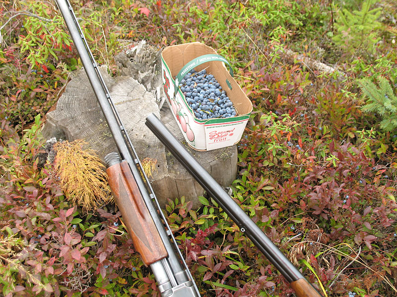 Blueberries collected while hunting grouse