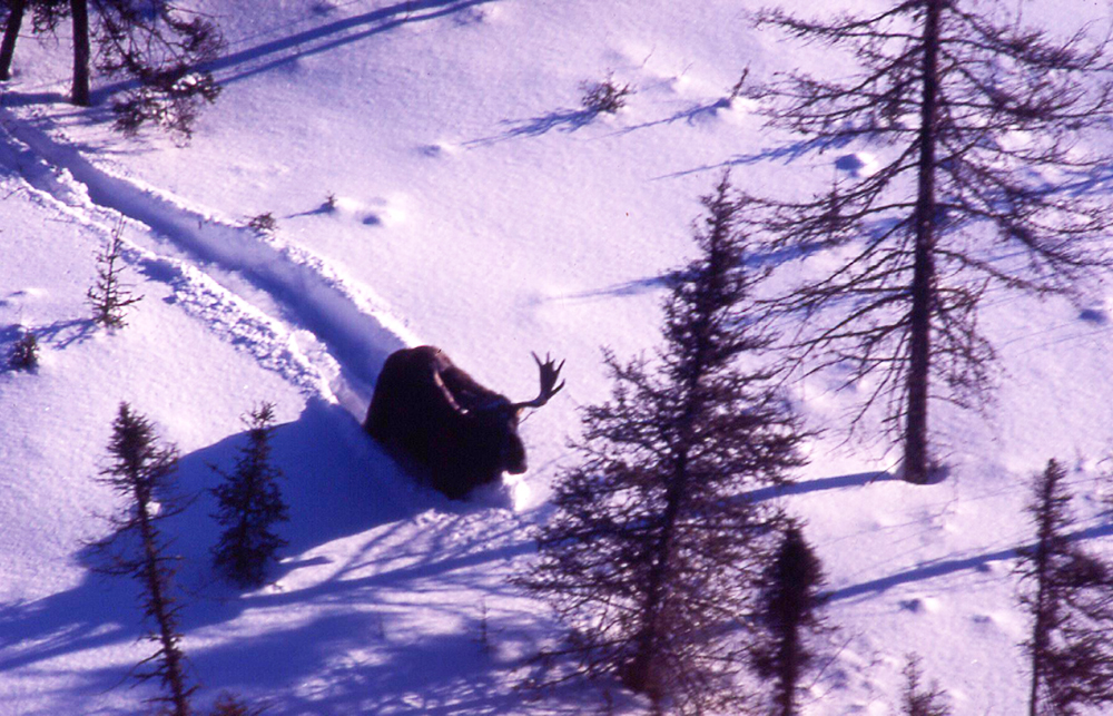 large bull moose Nipigon region of Northwestern Ontario
