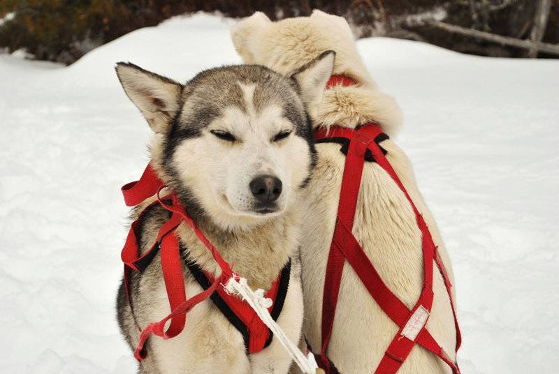 Siberian-Huskies-Borealis-Sled-Dog-Adventures