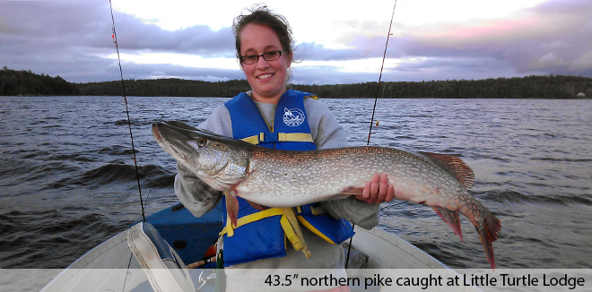 "43.5"" pike caught at Little Turtle Lodge"