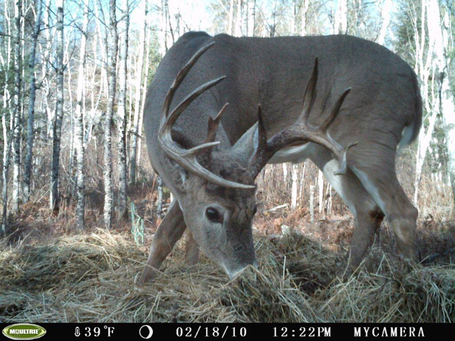 Beautiful Whitetail Deer caught on a trail Ccam
