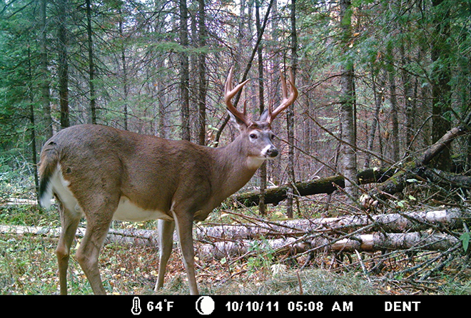 Whitetail deer on a trail cam in Northwest Ontario