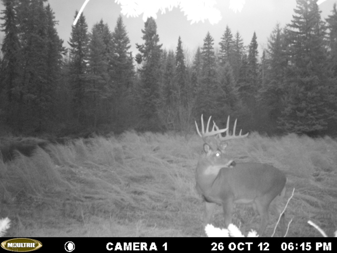 A monster Northwest Ontario buck makes a dusk appearance in a dry swamp area.