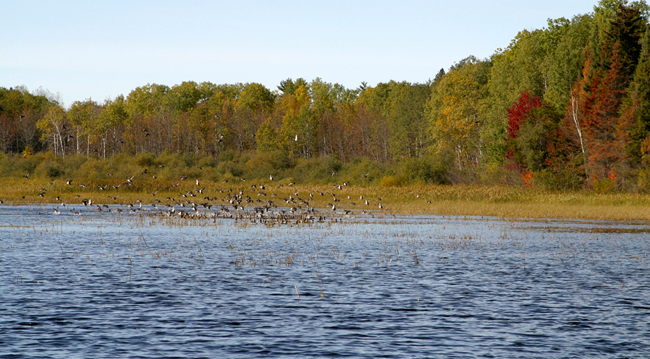 Ontario is the perfect place for duck hunting