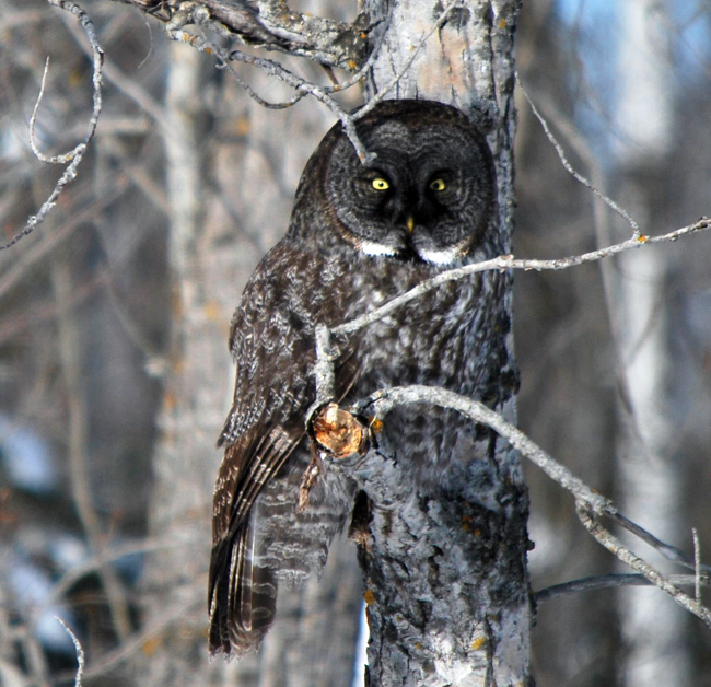 Gray Owl by Mickey Gustafson