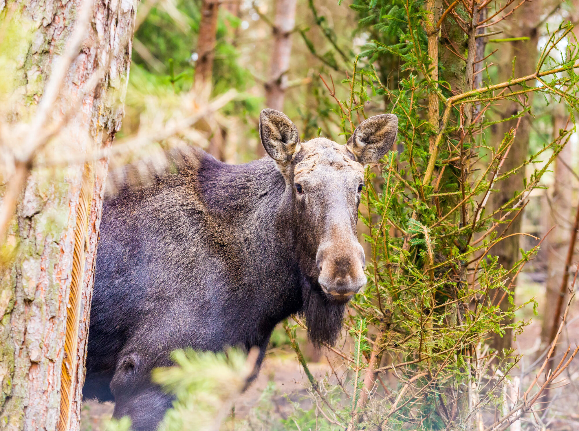 Where do moose live in nature 44