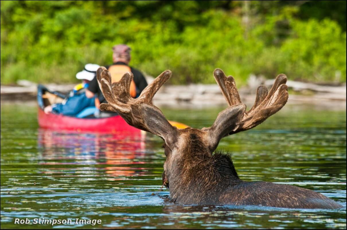 A Moose Safari in Algonquin Provincial Park: One of the Ultimate Wildlife Photography Adventures ...