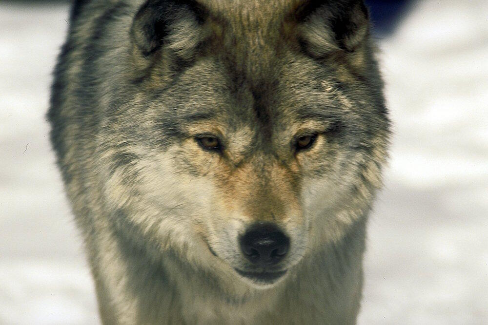 Close up of a wolf.