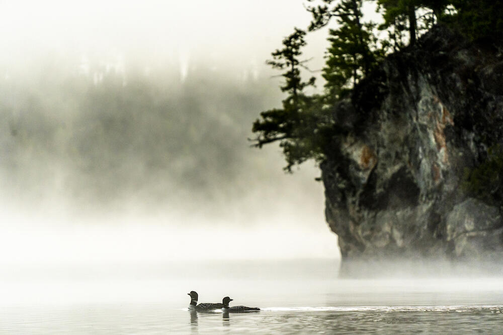 Loons on Oriana Lake. There's so much to discover. Photo: David Jackson