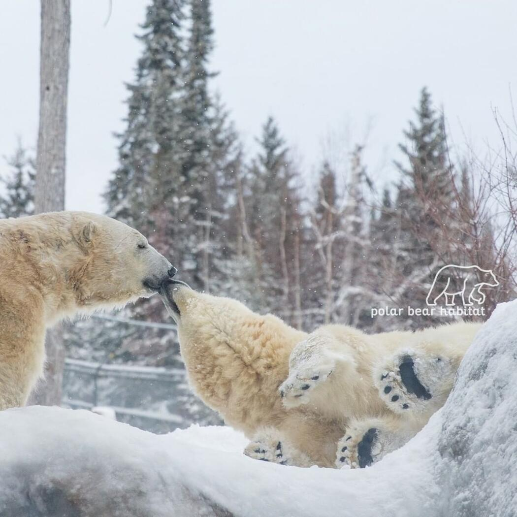 Two polar bears playing in snow.