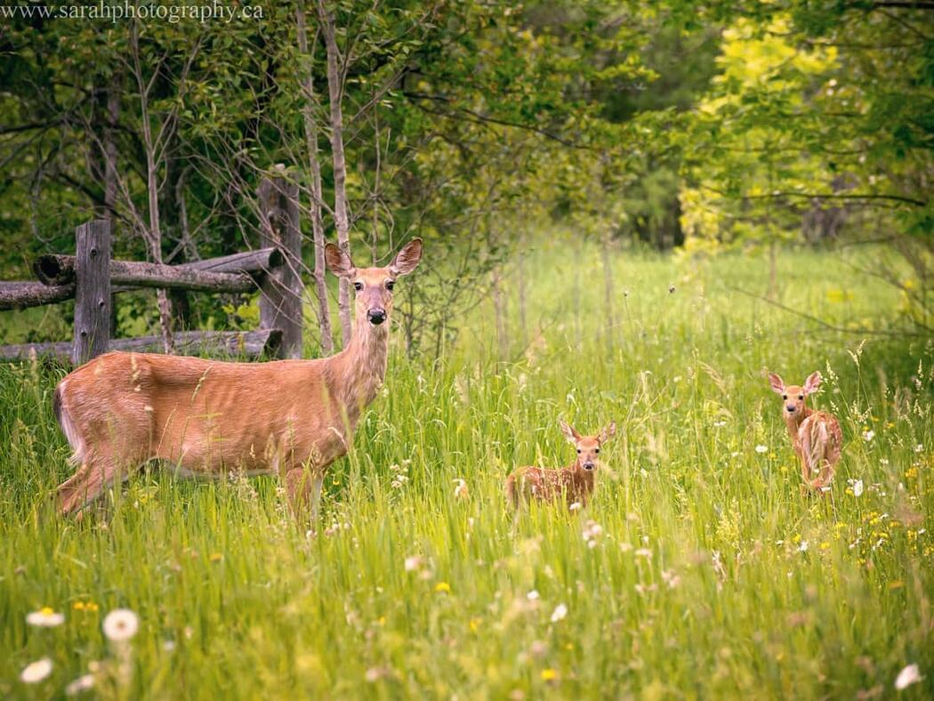 Doe and two spotted fawns in a grassy meadow.