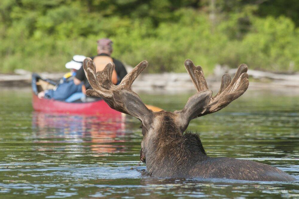 People paddling canoe away from moose standing in the water