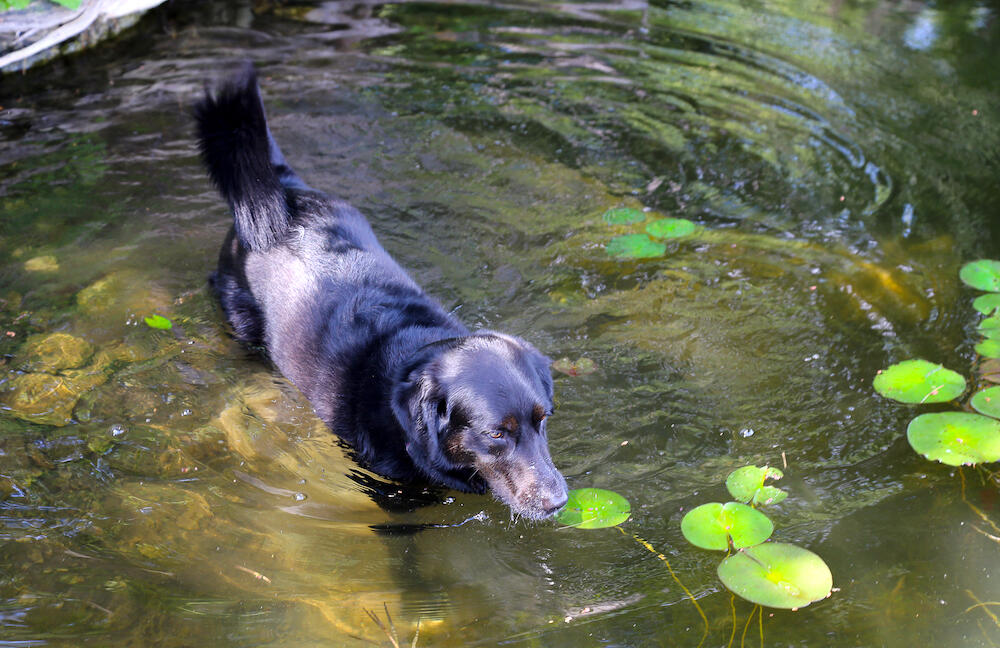 Black lab walking in a shallow part of lake