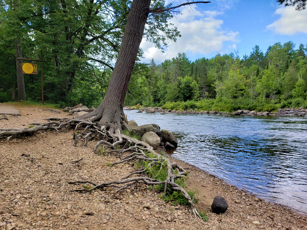 Pine tree with gnarly roots along a river.