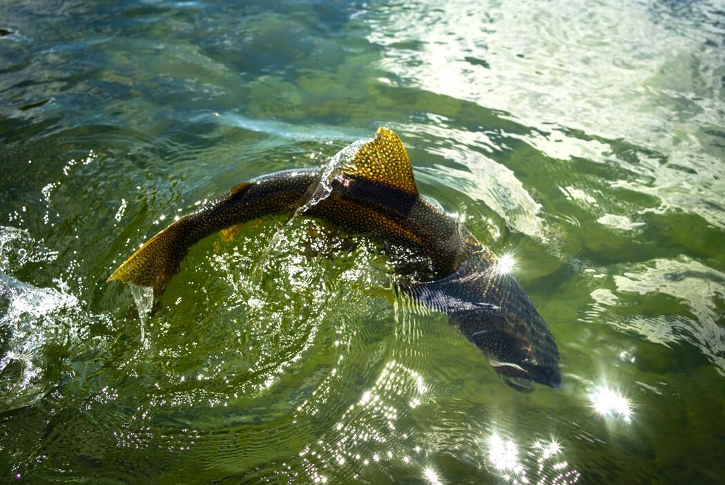 Fish swimming near the surface of the water