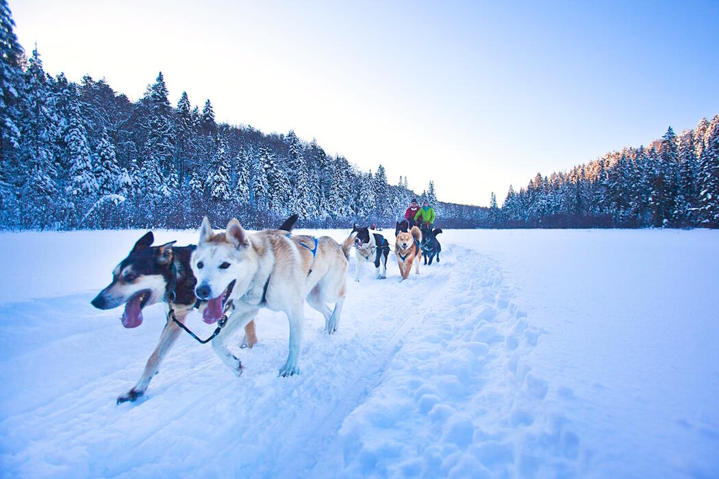 Couple dogsledding with a team of dogs.