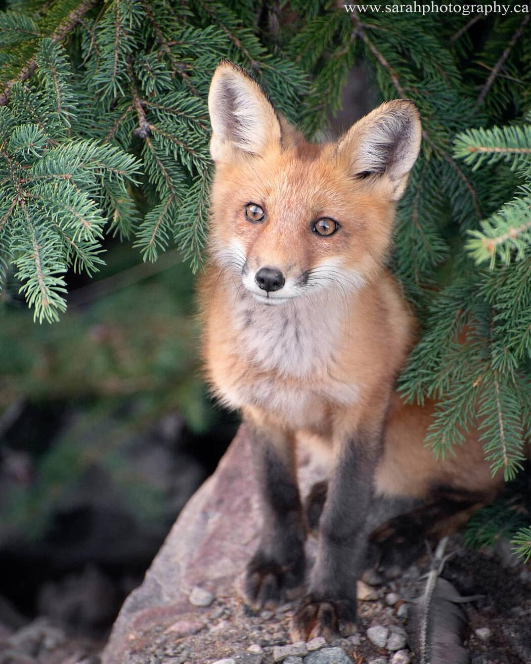 Red fox sitting on a rock.