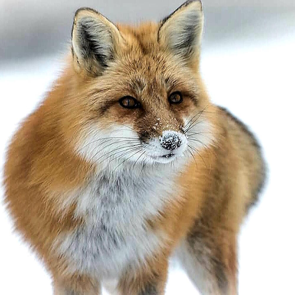 Close up of a red fox in winter