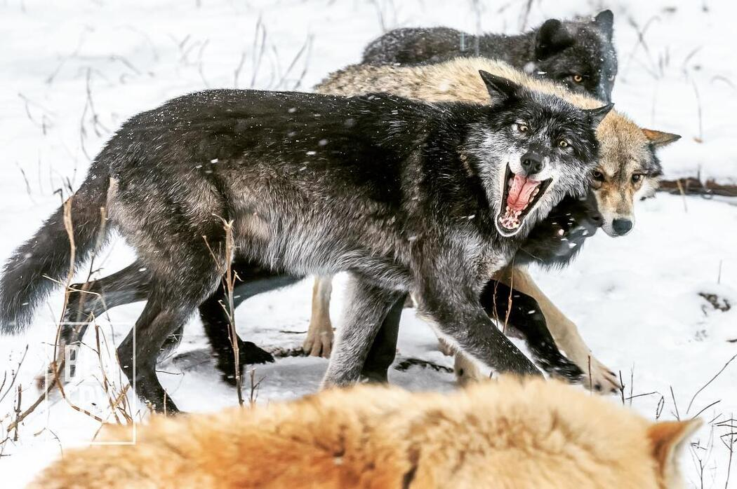 Close up of a pack of wolves. Grey coloured wolf snarling at a white coloured wolf.