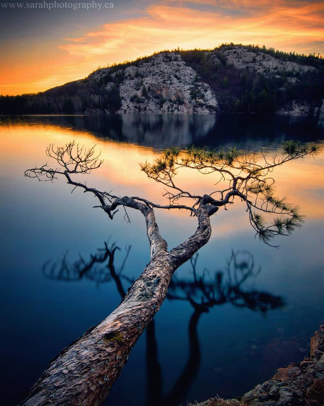 Tree in a lake with white mountains at sunset.