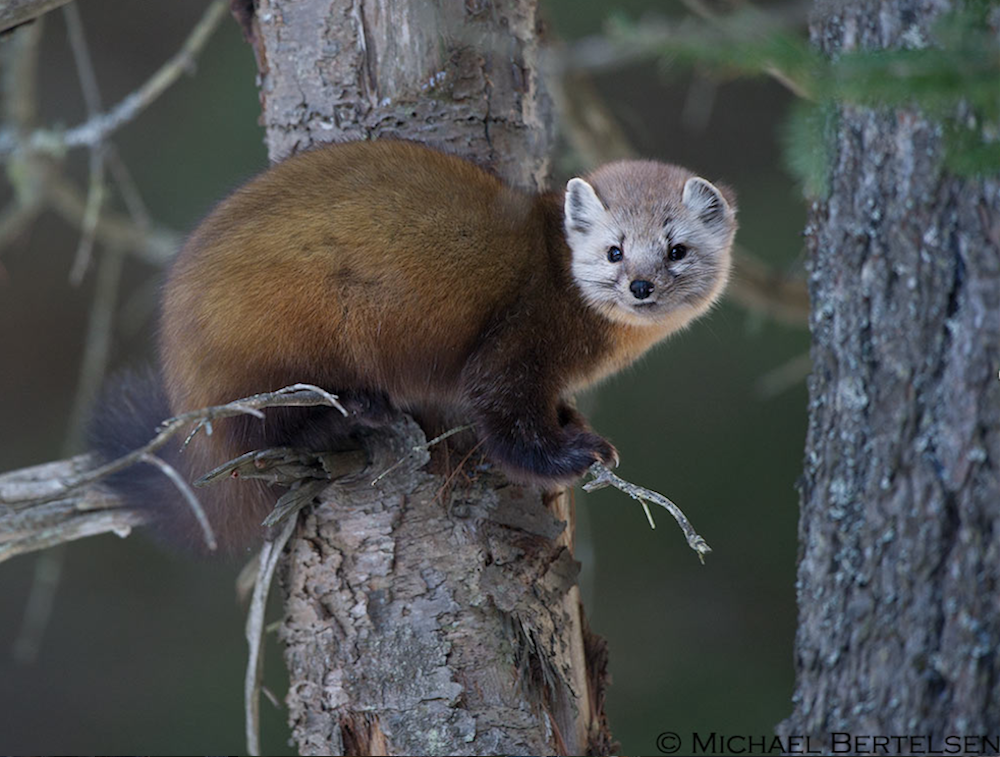 Pine marten perched on a branch.