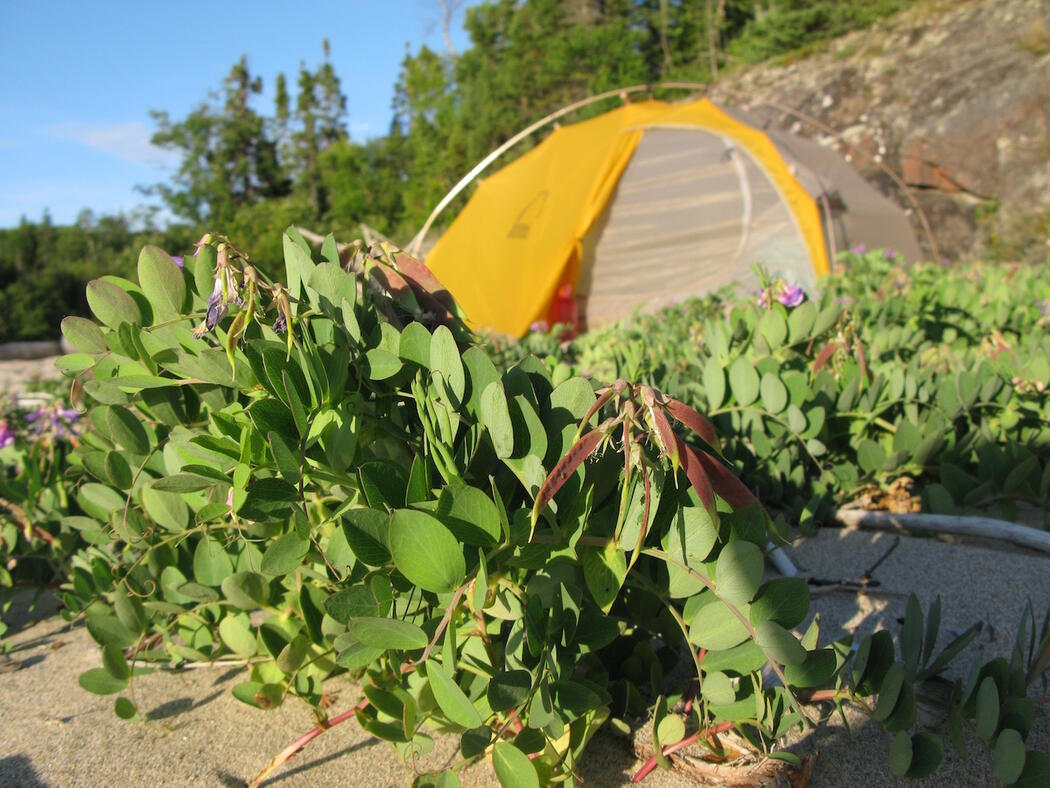 Yellow tent on beach surrounded by beach pea vegetation