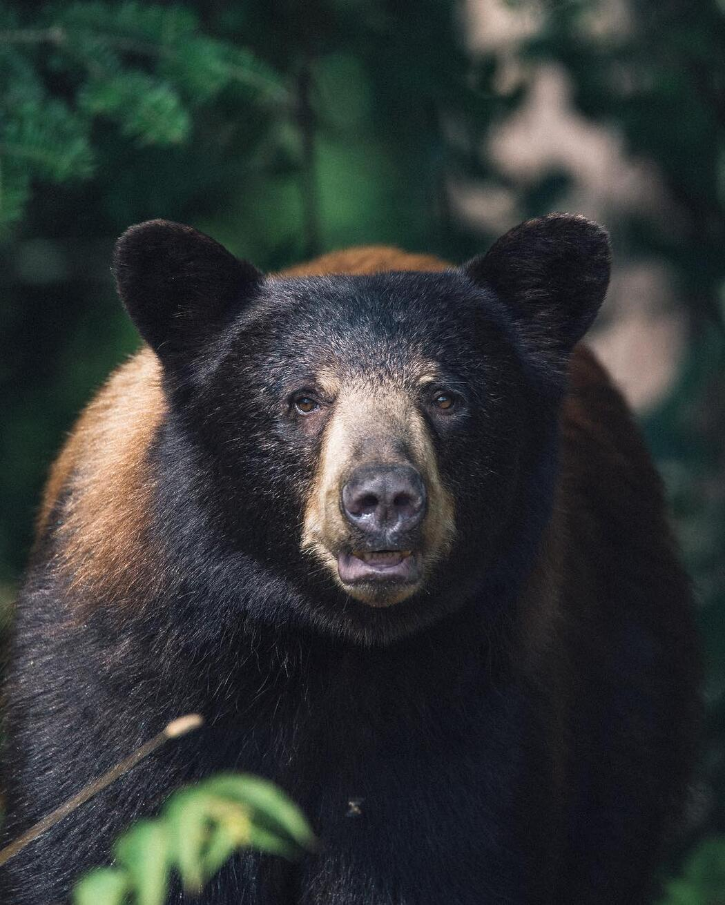 Front view of a black bear.