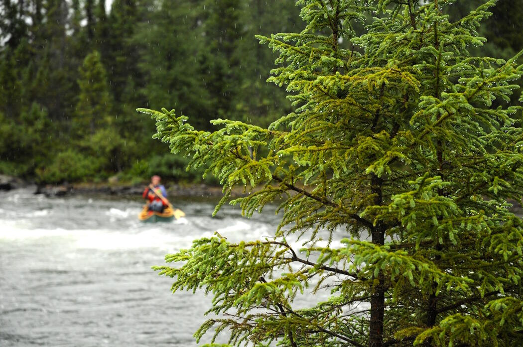 Coniferous tree covered in rain drops in front of a paddler on a river.