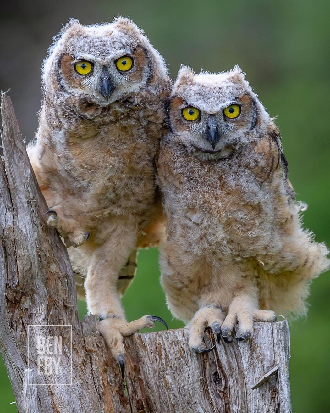 Two owlets sitting on a wooden post.