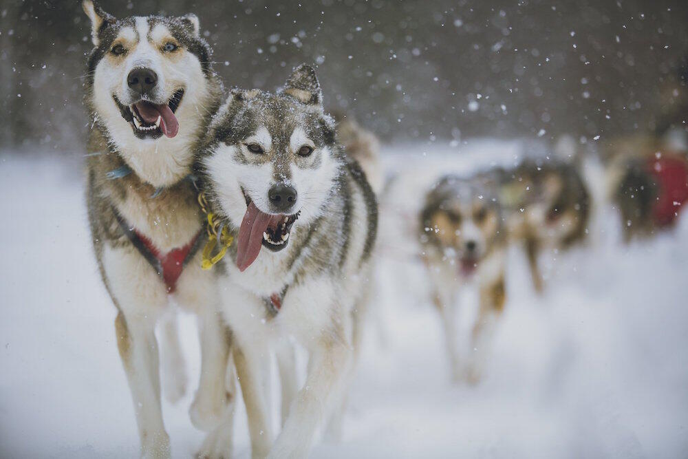 Close up of a team of sled dogs pulling a sled.