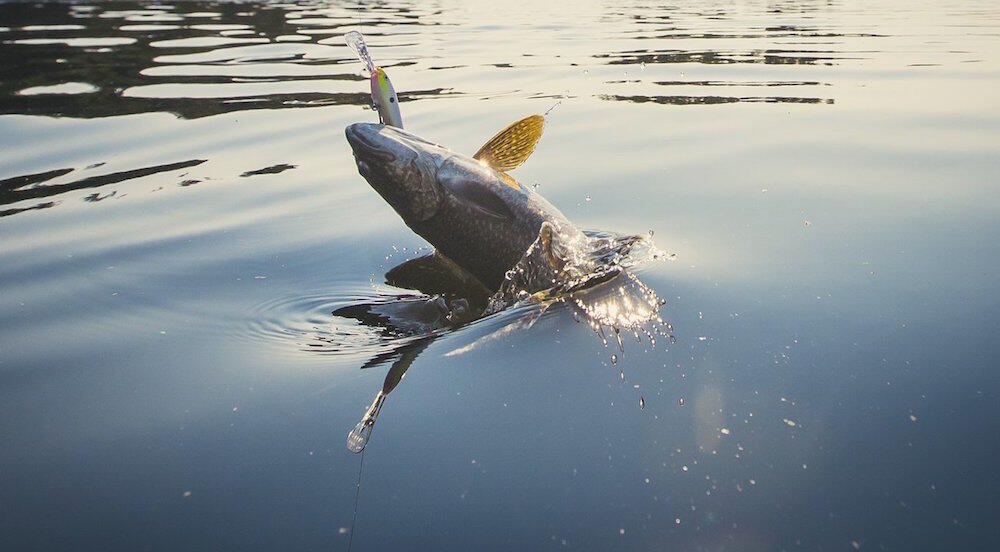 Fish on a hook being pulled from water