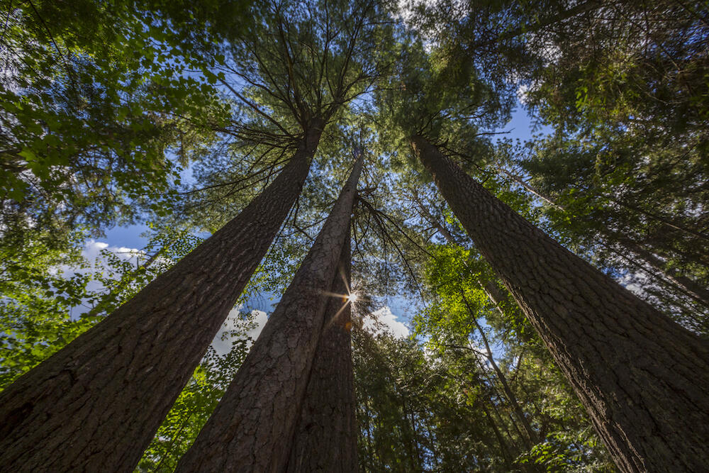 Looking up at old growth pine trees
