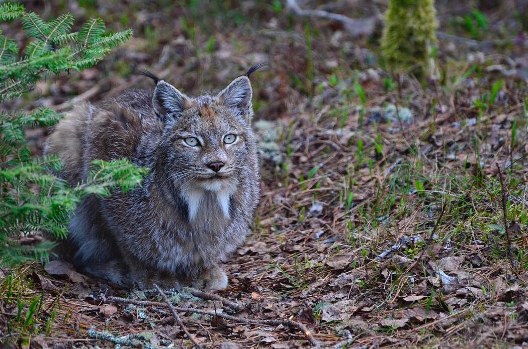 Canadian lynx couched on leafy trail.