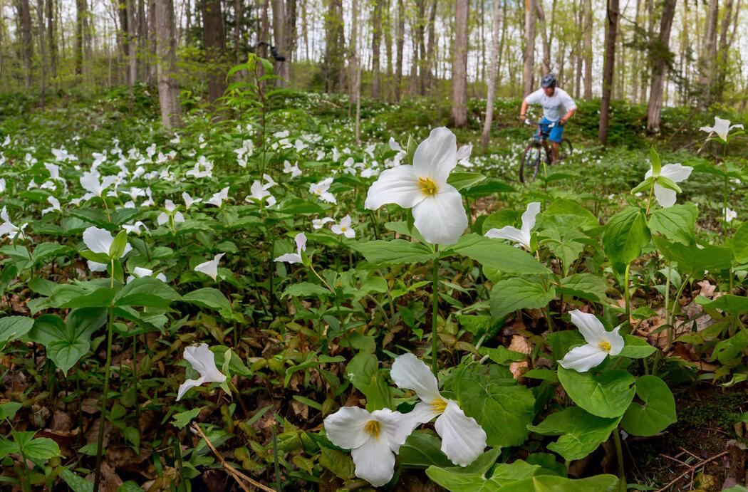 Mountain biker riding on trail surrounded by lots of white trilliums