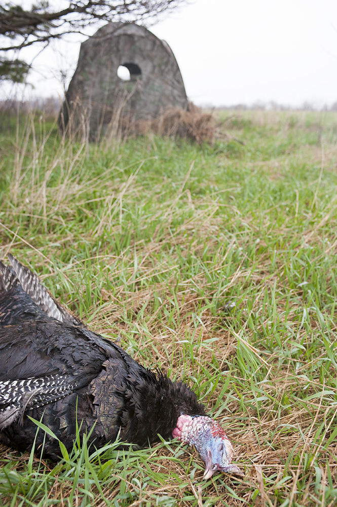 ground blind hunting turkey