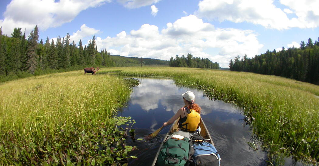 woman in front of canoe paddling towards a moose in marshy area