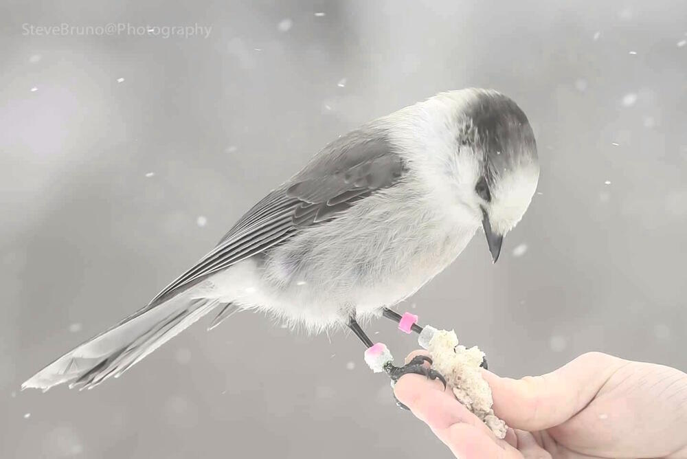 Banded Canada Jay sitting on a person's finger.