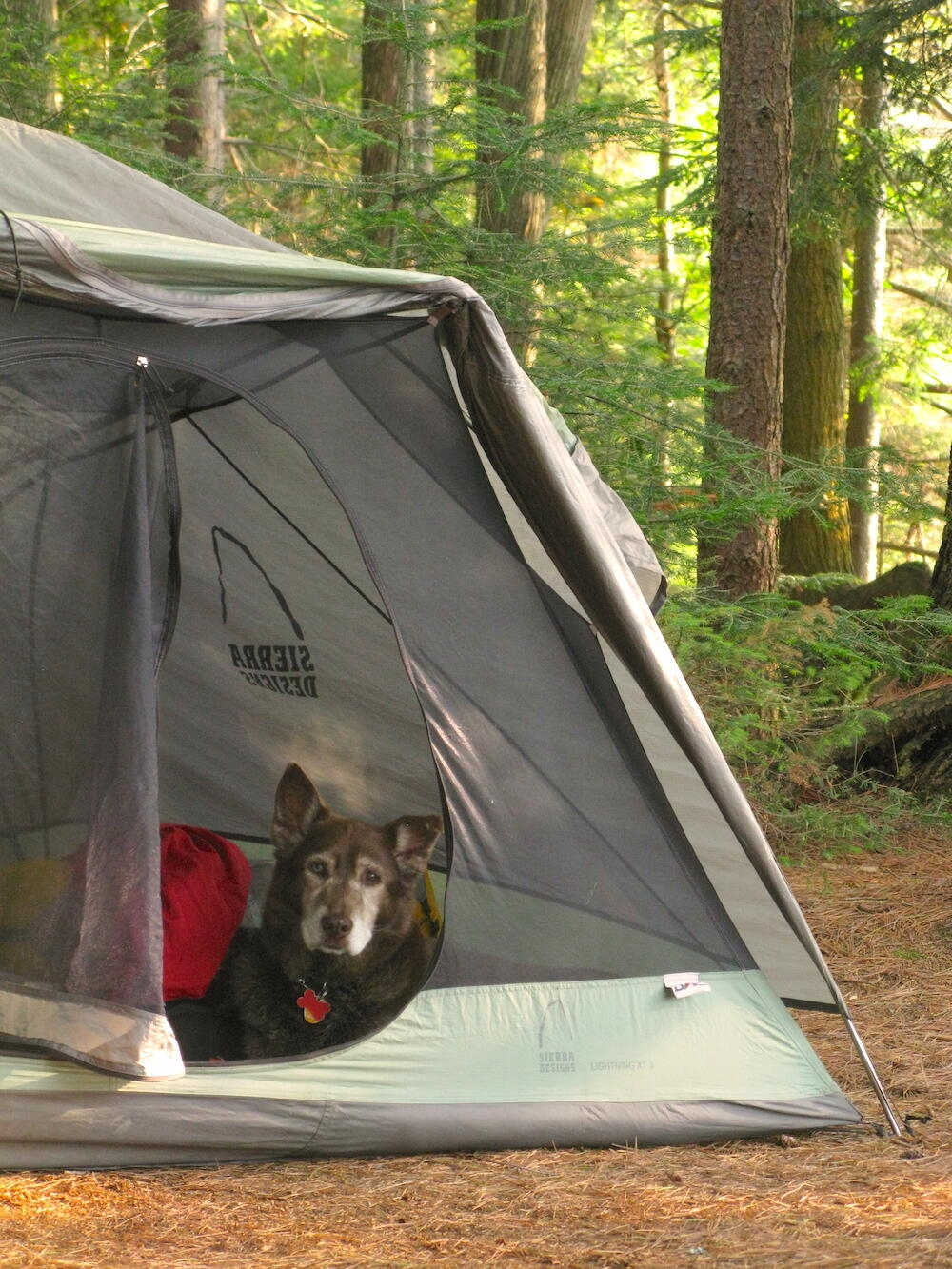 Older dog resting in a tent.