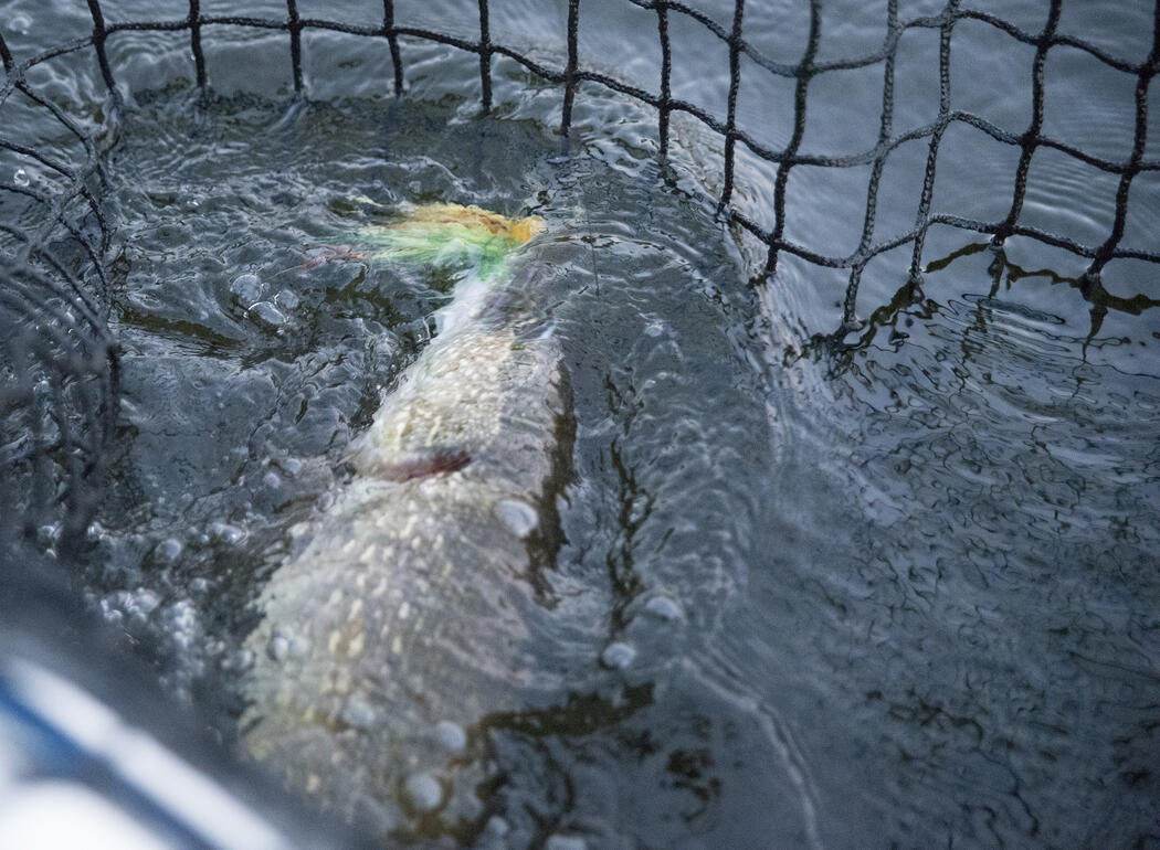 netted northern pike