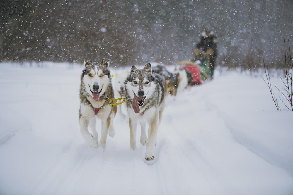 Team of dogs pulling a sled with snow falling.