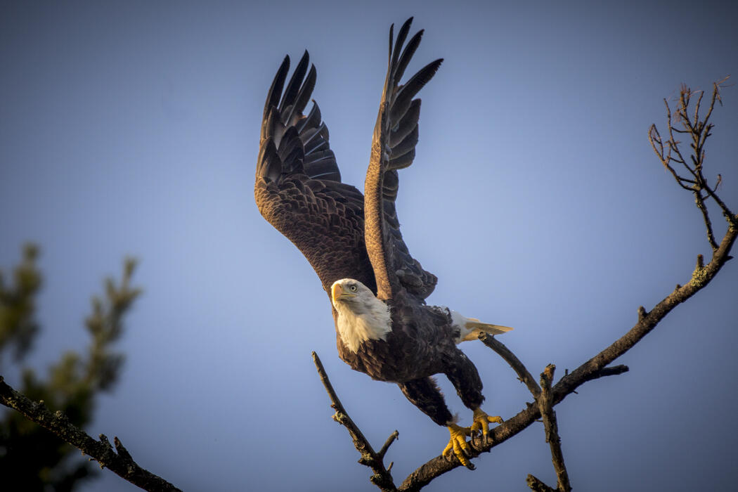 Bald eagle with raised wings taking off from a branch.