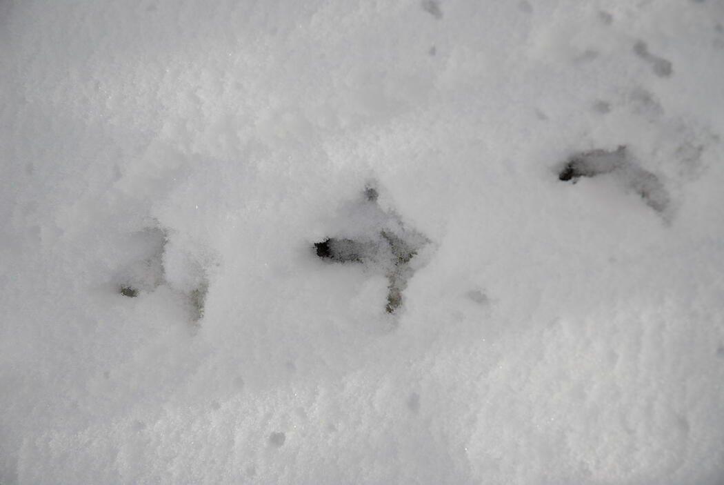 tracking grouse