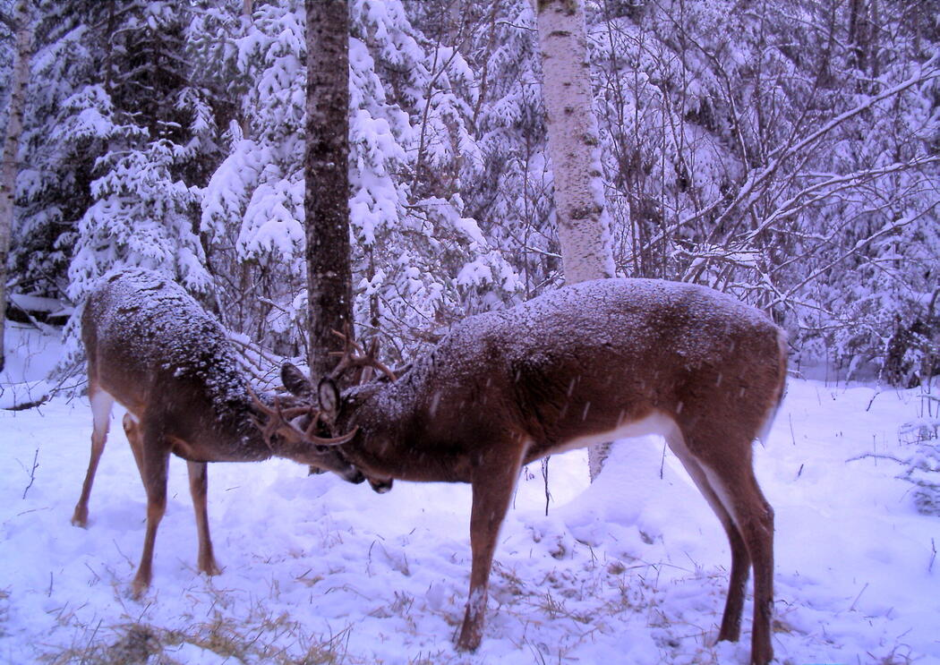 Whitetail deer during the rut - courtesy Jeff Gustafson