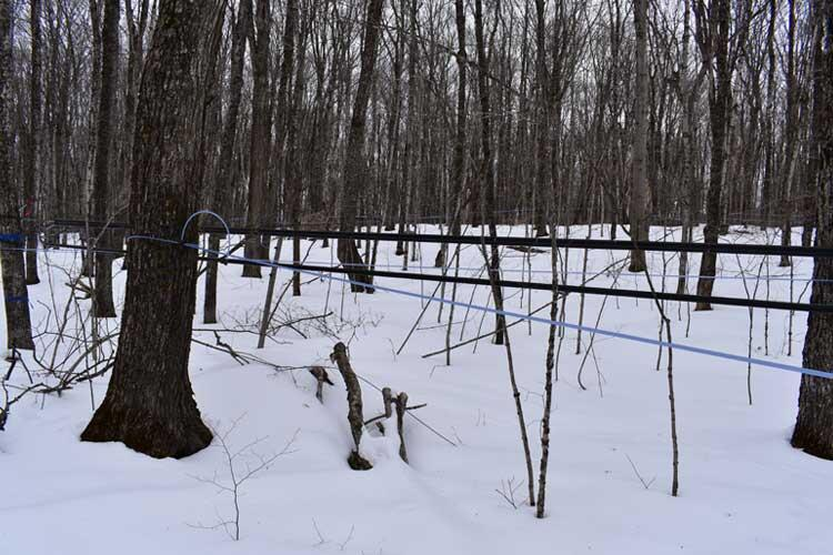 sap lines for maple syrup