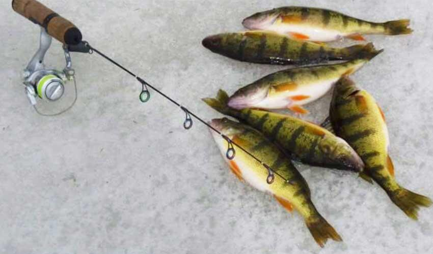 ontario perch on the ice