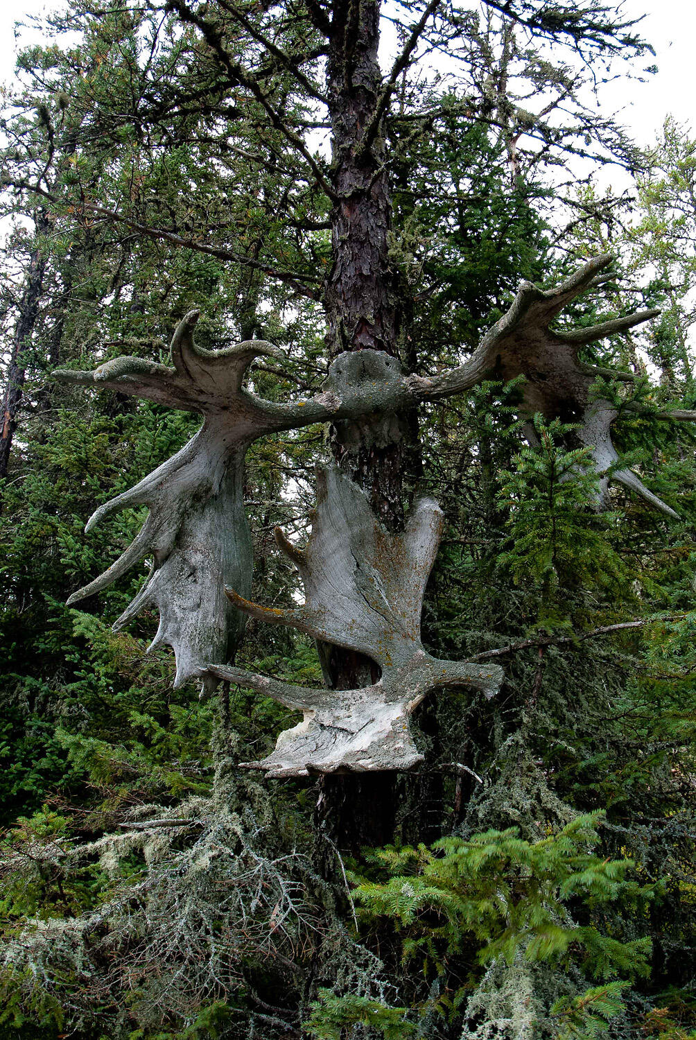 antlers on a tree