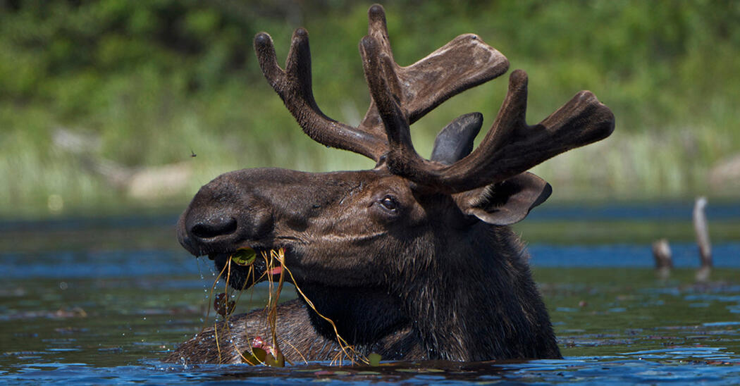 Bull moose with antlers eating lily pads while swimming in lake