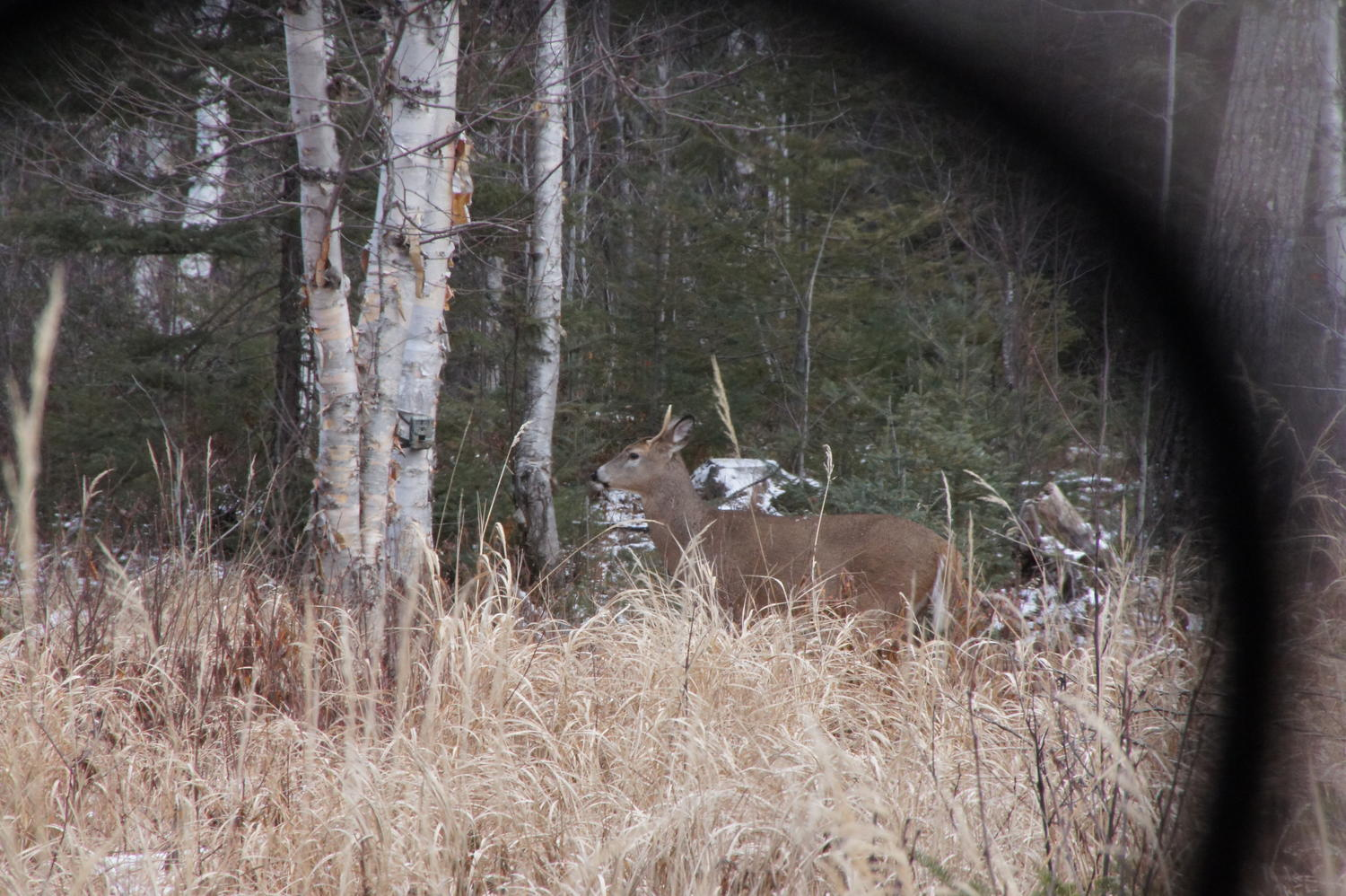 deer seen from ground blind