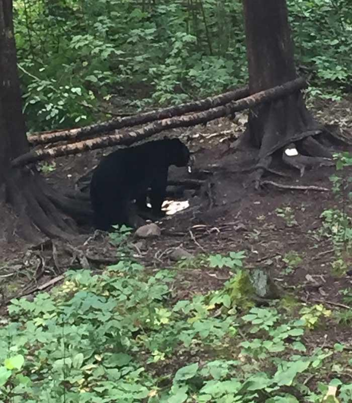 black bear feeding at bait site